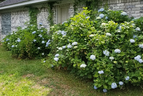 hydrangeas in our back yard
