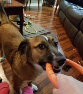 Brandy playing tug of war