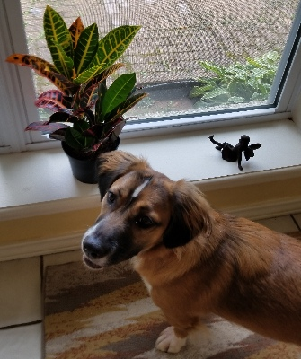 Brandy with new croton plant