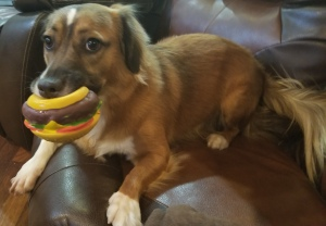 Brandy chewing on her hamburger toy