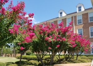 Beautiful crepe myrtles in front of Overstreet at SAU