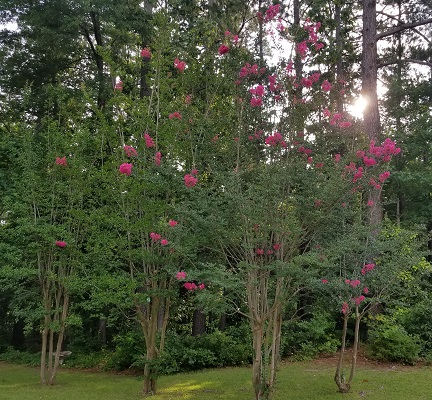 pretty crepe myrtles outside our house