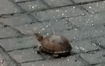 turtle in the back yard